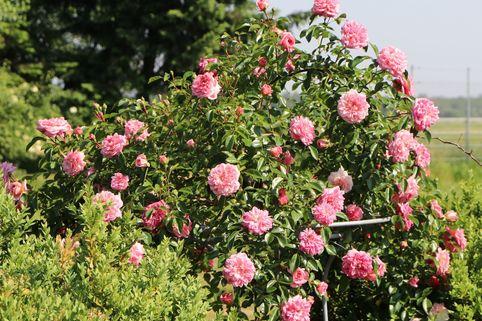 Ramblerrose 'Paul Noel' - Rosa 'Paul Noel'