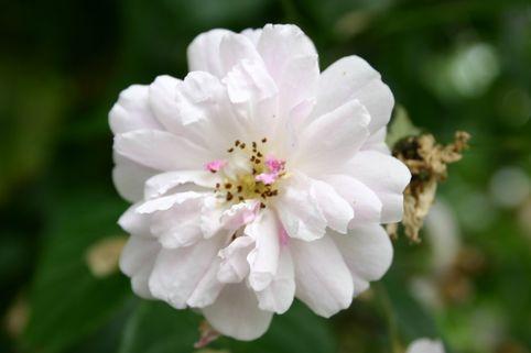 Ramblerrose 'Paul's Himalayan Musk Rambler' - Rosa 'Paul's Himalayan Musk Rambler'