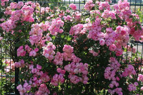 Ramblerrose 'Raubritter' - Rosa 'Raubritter'