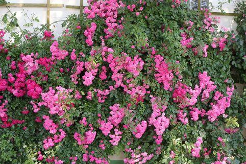 Ramblerrose 'Super Dorothy' - Rosa 'Super Dorothy'