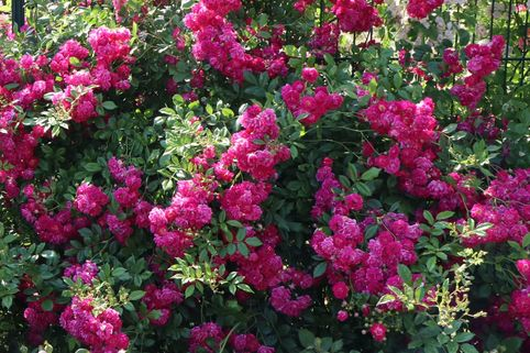 Ramblerrose 'Super Excelsa' - Rosa 'Super Excelsa'  ADR-Rose