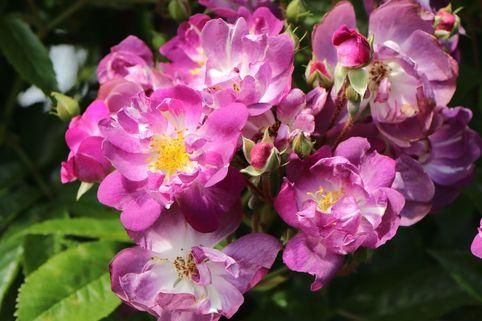 Ramblerrose 'Veilchenblau' - Rosa 'Veilchenblau'
