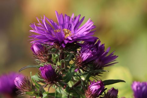 Raublatt-Aster 'Purple Dome' - Aster novae-angliae 'Purple Dome'