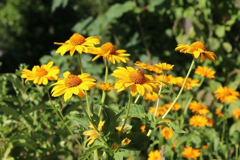 Raues Sonnenauge - Heliopsis scabra