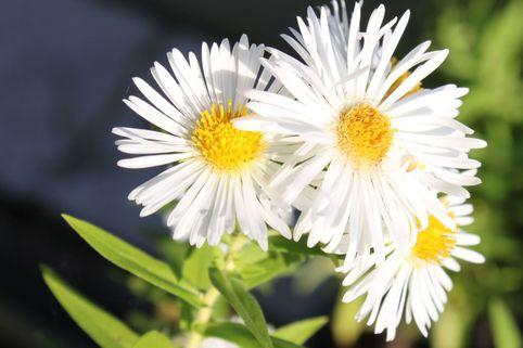 Raublatt-Aster 'Herbstschnee' - Aster novae-angliae 'Herbstschnee'