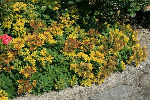Reichblühendes Fettblatt 'Weihenstephaner Gold' - Sedum floriferum 'Weihenstephaner Gold'