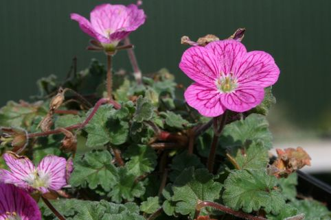 Reiherschnabel 'Bishop' - Erodium x variabile 'Bishop'