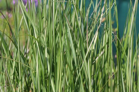 Reitgras 'Avalanche' - Calamagrostis x acutiflora 'Avalanche'