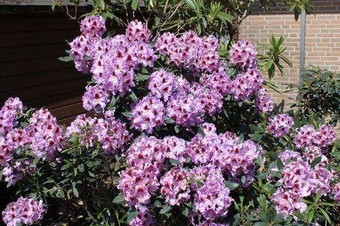 Rhododendron 'Alexis' - Rhododendron Hybride 'Alexis'