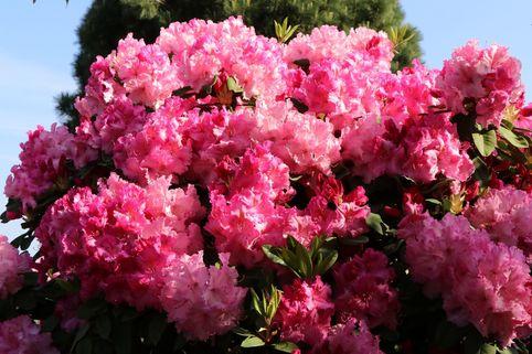 Rhododendron 'Anastasia' ® - Rhododendron Hybride 'Anastasia' ®