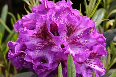Rhododendron 'Anatevka' - Rhododendron Hybride 'Anatevka'