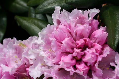 Rhododendron 'Annika' - Rhododendron yakushimanum 'Annika'