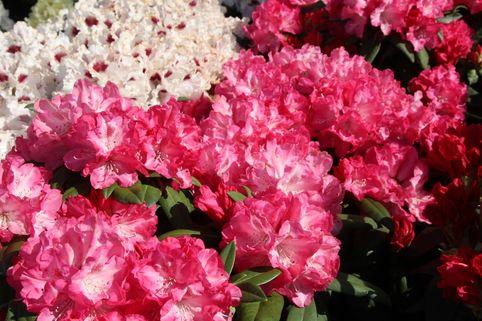 Rhododendron 'Anuschka' - Rhododendron yakushimanum 'Anuschka'
