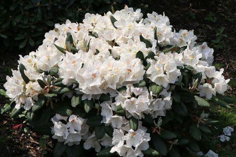 Rhododendron 'Apollonia' - Rhododendron yakushimanum 'Apollonia'