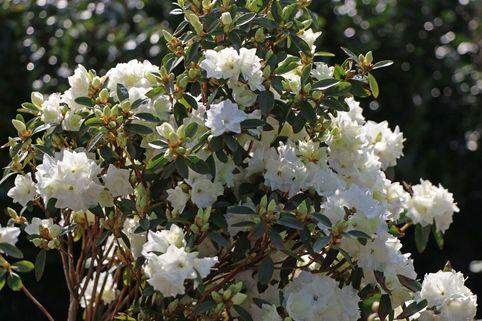 Rhododendron 'April Snow' - Rhododendron dauricum 'April Snow'