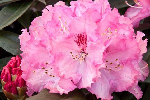 Rhododendron 'Arabella' - Rhododendron yakushimanum 'Arabella'