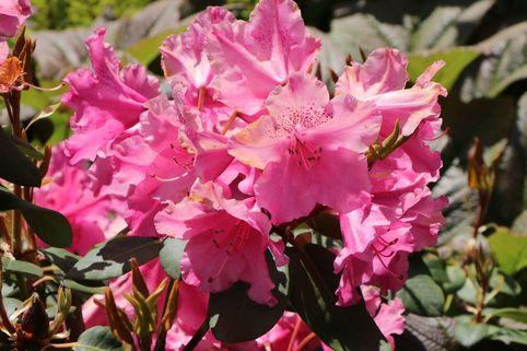 Rhododendron 'August Lamken' - Rhododendron williamsianum 'August Lamken'