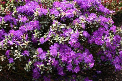 Rhododendron 'Azurella' - Rhododendron calostrotum 'Azurella'