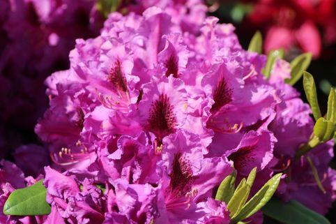 Rhododendron 'Azurro' - Rhododendron Hybride 'Azurro'