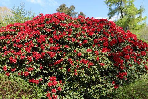 Rhododendron 'Bad Eilsen' - Rhododendron repens 'Bad Eilsen'