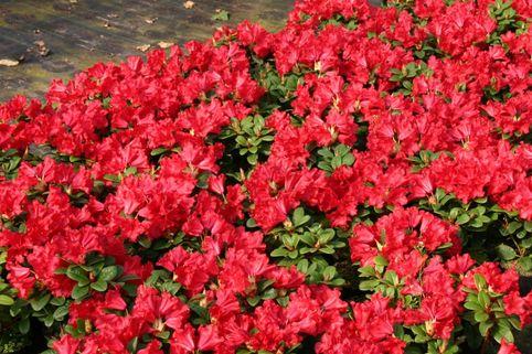 Rhododendron 'Baden-Baden' - Rhododendron repens 'Baden-Baden'