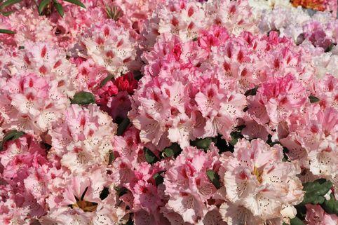 Rhododendron 'Ballkönigin' - Rhododendron yakushimanum 'Ballkönigin'