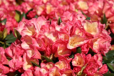 Rhododendron 'Barbarella' - Rhododendron yakushimanum 'Barbarella'