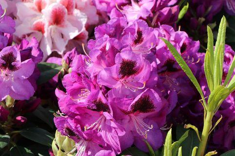 Rhododendron 'Bariton' - Rhododendron Hybride 'Bariton'