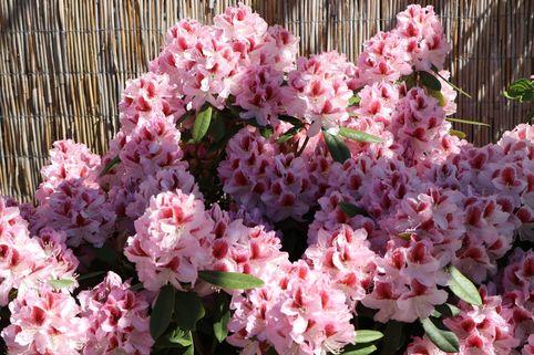 Rhododendron 'Belami' ® - Rhododendron Hybride 'Belami'  ®
