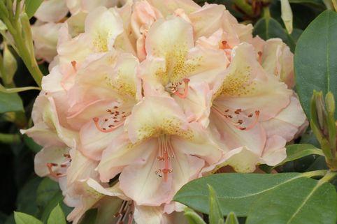 Rhododendron 'Belkanto' (S) - Rhododendron Hybride 'Belkanto' (S)