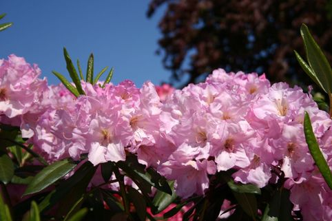 Rhododendron 'Bellefontaine' - Rhododendron Hybride 'Bellefontaine'