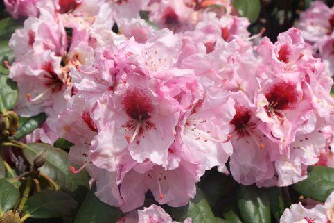 Rhododendron 'Bergensiana' - Rhododendron Hybride 'Bergensiana'