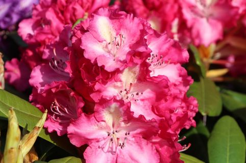 Rhododendron 'Berlinale' - Rhododendron Hybride 'Berlinale'