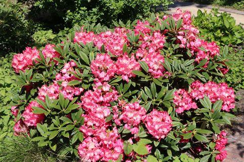 Rhododendron 'Berliner Liebe' - Rhododendron Hybride 'Berliner Liebe'