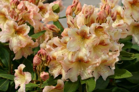 Rhododendron 'Bernstein' - Rhododendron Hybride 'Bernstein'