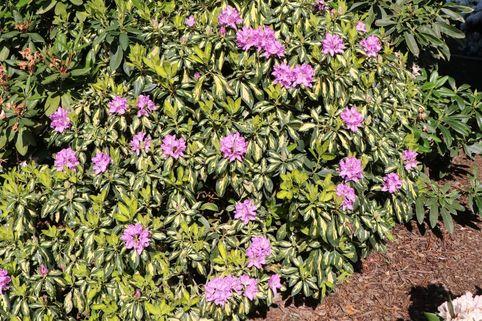 Rhododendron 'Blattgold' - Rhododendron Hybride 'Blattgold'