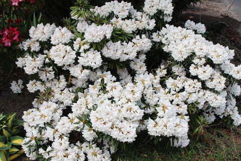 Rhododendron 'Blewbury - Rhododendron roxieanum 'Blewbury'