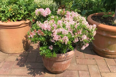 Rhododendron 'Bloombux' ® (Pink) - Rhododendron micranthum 'Bloombux' ® (Pink)