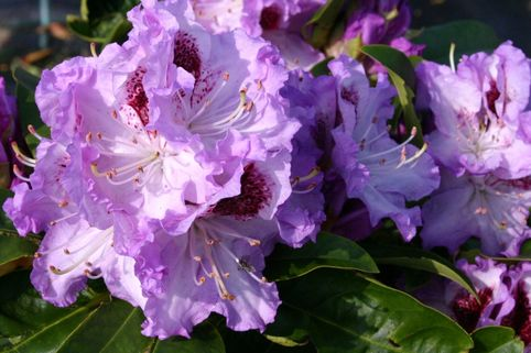 Rhododendron  'Blue Peter' - Rhododendron Hybride 'Blue Peter'