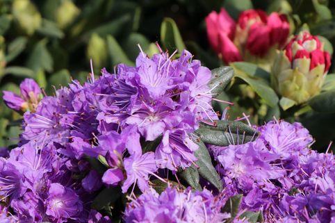 Rhododendron 'Blumiria' - Rhododendron impeditum 'Blumiria'