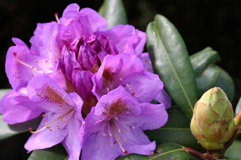 Rhododendron  'Blutopia' - Rhododendron Hybride 'Blutopia'