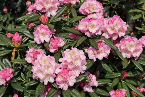 Rhododendron 'Brigitte' - Rhododendron Hybride 'Brigitte'