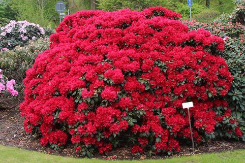 Rhododendron 'Buketta' - Rhododendron repens 'Buketta'