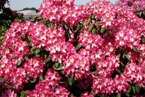 Rhododendron 'Campanile' - Rhododendron Hybride 'Campanile'