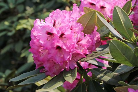 Rhododendron 'Caramba' - Rhododendron calophytum 'Caramba'