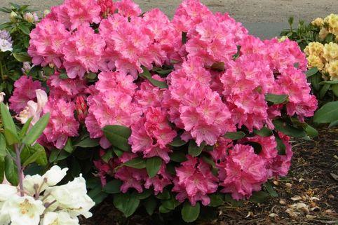 Rhododendron 'Caruso' ® - Rhododendron Hybride 'Caruso' ®