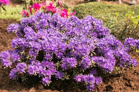 Rhododendron 'Compactum' - Rhododendron russatum 'Compactum'