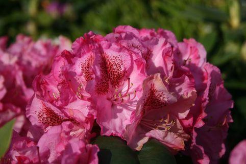 Rhododendron 'Constanze' - Rhododendron Hybride 'Constanze'