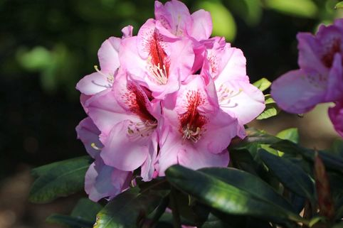 Rhododendron 'Diadem' - Rhododendron Hybride 'Diadem'