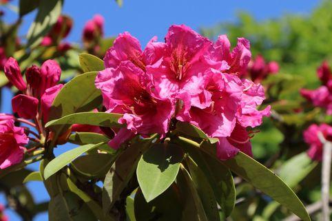 Rhododendron 'Direktör E.Hjelm' - Rhododendron Hybride 'Direktör E. Hjelm'